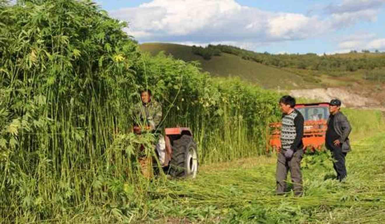 Hodowla konopi w prowincji Yunnan