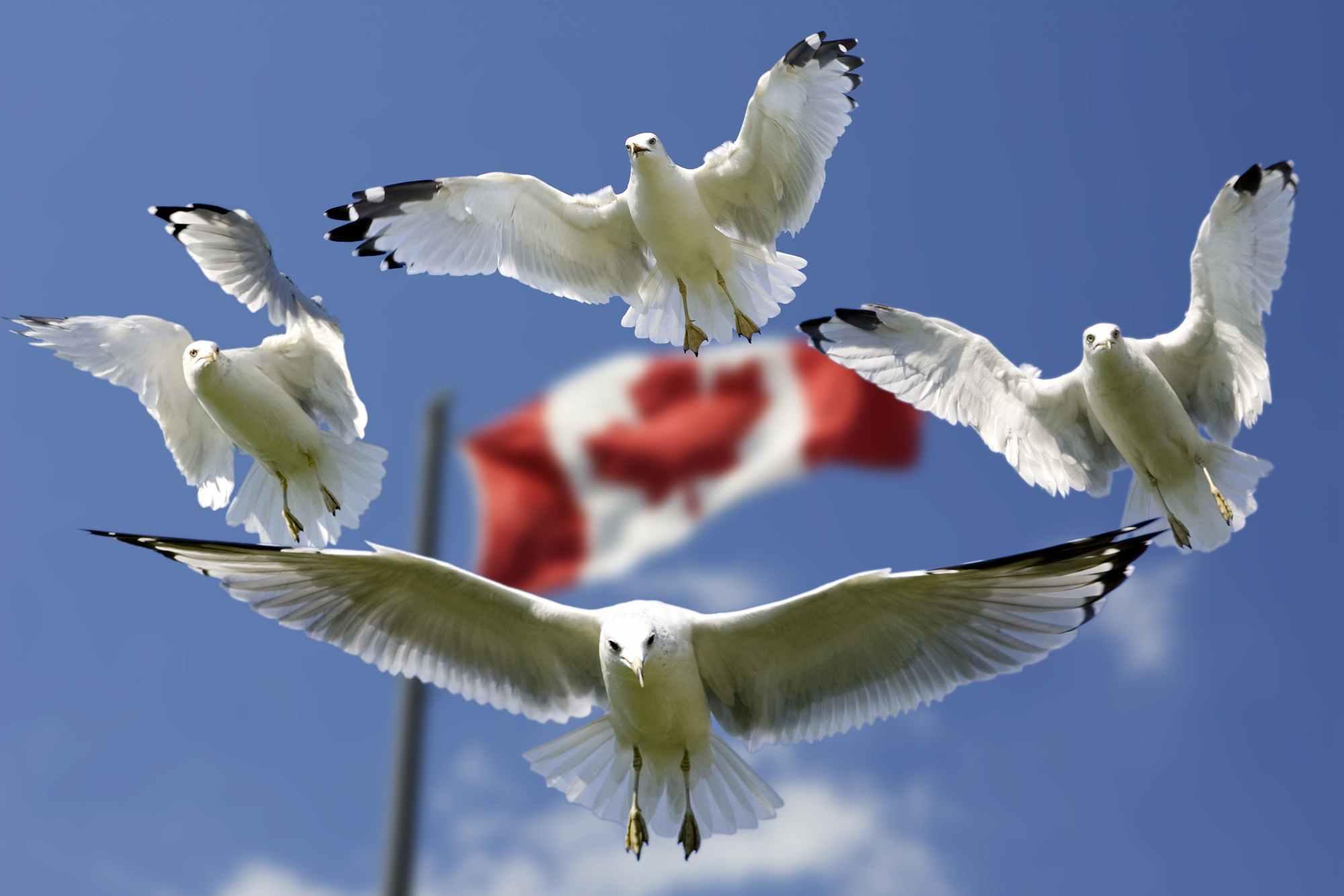 Ptaki latające na tle flagi kanadyjskiej