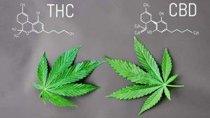 Dlaczego CBD działa lepiej z odrobiną THC?