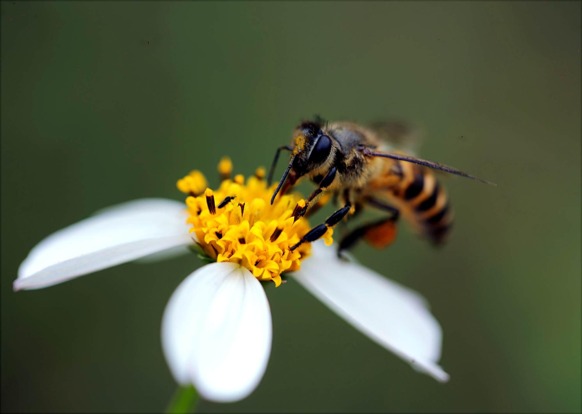 Makro fotografia pszczoły na kwiatku