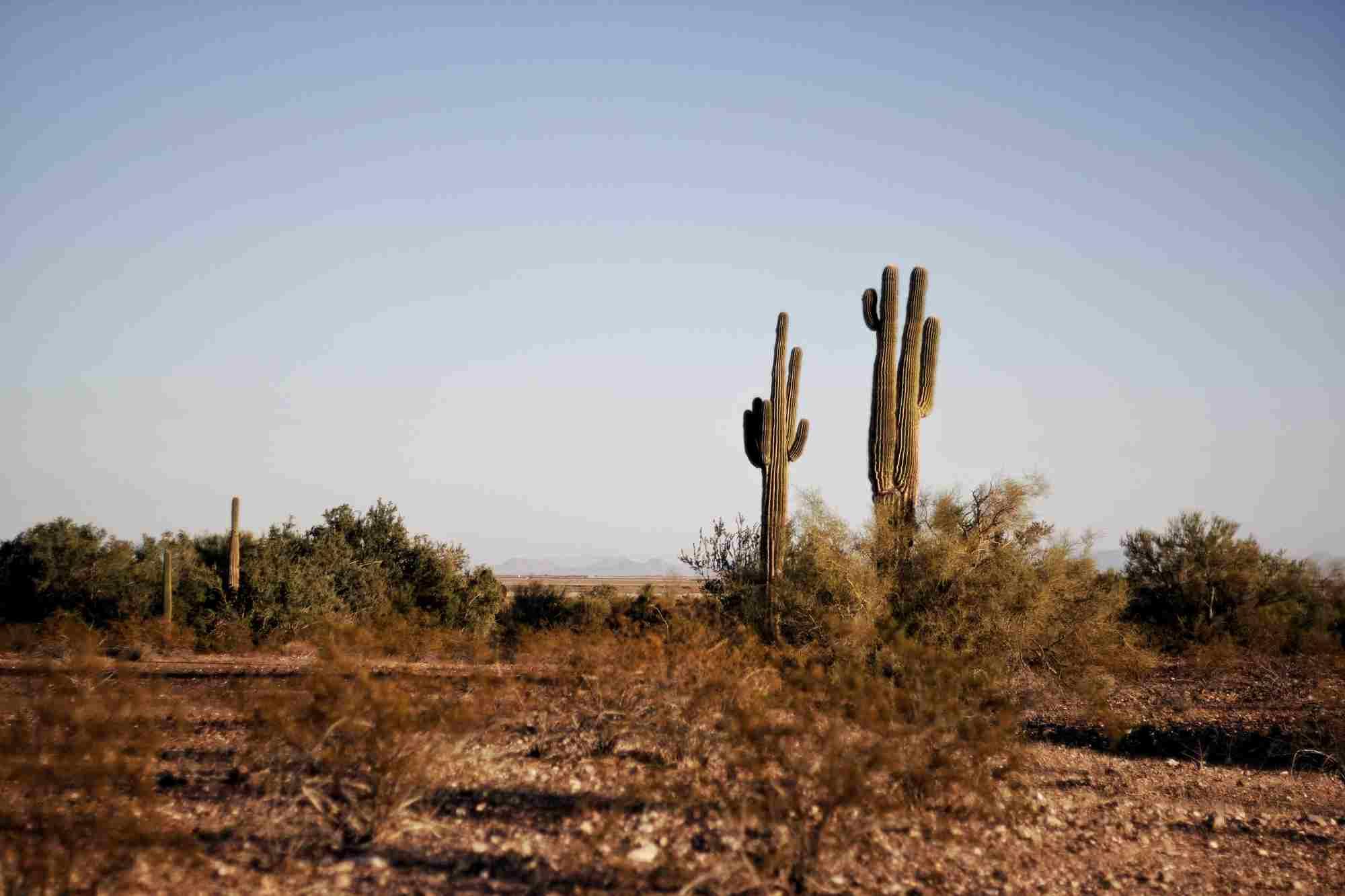 Dwa zielne kaktusy na pustyni