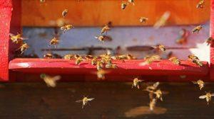 Pszczoły kochają konopie!