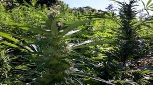 Jamajka: rolnicy będą czerpać zyski z legalnej sprzedaży marihuany