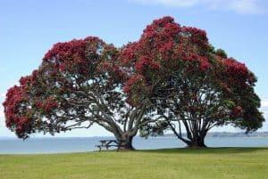 Drzewo Pohutukawa w Nowej Zelandii