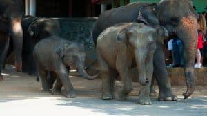 Warszawskie ZOO leczy zrozpaczonego słonia przy pomocy CBD