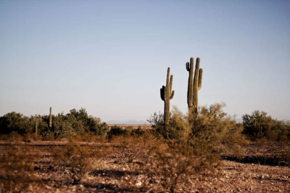 Dwa zielone kaktusy