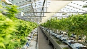 Pierwsza plantacja marihuany medycznej w Polsce