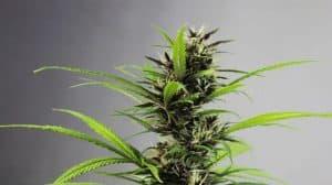 Jak marihuana działa na organizm człowieka? Zbiór najważniejszych informacji